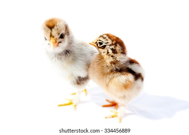 Small fluffy chickens on a white background isolated