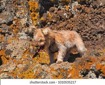 small, fluffy, long-haired dog in beigerot in a rock, which are covered with bright yellow lichens