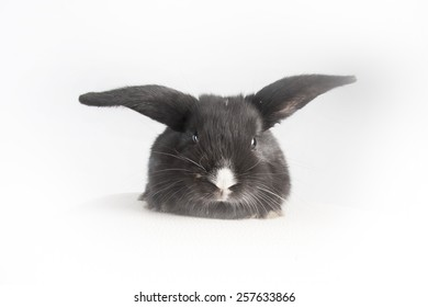 Small fluffy rabbit black with white nouse