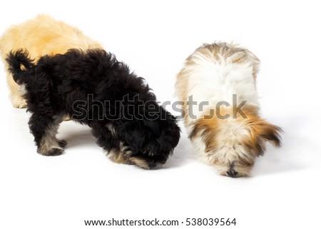 Small Fluffy Shitsu Puppies Portrait Shot Stock Photo Edit Now