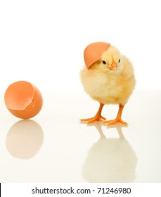 Small fluffy spring chicken wearing egg shell on head looking helpless - isolated with reflection