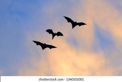 The small flying fox, island flying fox or variable flying fox (Pteropus hypomelanus), fruit bat . Fox bat flying in the sunset  sky. Bats Leave Kalong Island for mainland every night in migration