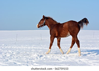 Small foal in the snow