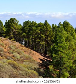 Small forest of canarian pine on the mountain, clouds and blue sky