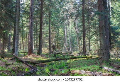 Small forest stream in springtime morning crossing coniferous stand, Bialowieza Forest, Poland, Europe