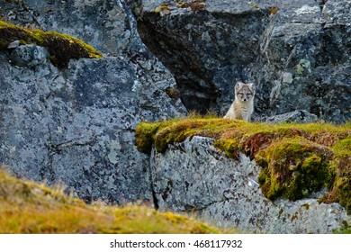 Small fox in the rocky habitat. Arctic Fox, Vulpes lagopus, cute animal portrait in the nature habitat, hidden in the mountain, Svalbard, Norway.