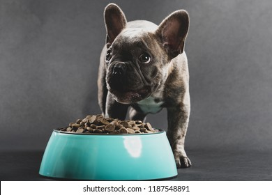 "Small French Bulldog ""Frenchie"" eating a large portion of dog food from a bowl."