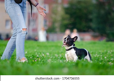 Kleiner französischer Bulldog-Welpe. Der junge energetische Hund geht mit seinem Besitzer und spielt mit ihm. Wie schützen Sie Ihren Hund vor Überhitzung im Sommer? Der Hund hat Durst.