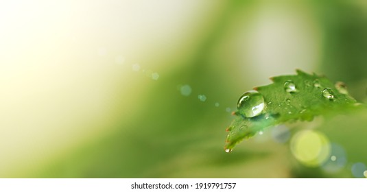 A small fresh drop of dew close-up on a green sheet of bush rose is a sunny glare horizontal image of a blurry background defocus macrophotography of nature summer gardening free space for text