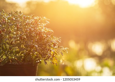 Small fresh Thai chilli tree in garden pot in garden at morning time with blur and sunlight effect