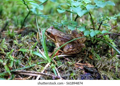 Small Frog Common Frog