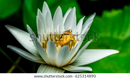 Small Frog Hide Inside Lotus Flower Stock Photo Edit Now 625314890