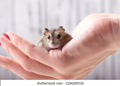 A small funny animal sits on a woman's hand with a red manicure. Miniature hamster viciously rubs his paws. Fluffy and cute Dzhungar hamster at home.