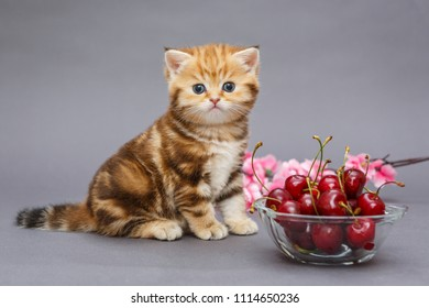 Small, funny British marble kitten and a bowl with cherry on a grey  background