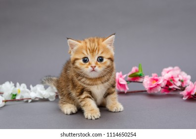 Small, funny British marble kitten and aflowers  on a grey  background