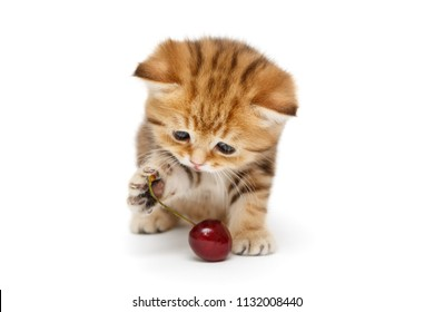 Small, funny British marble kitten and  cherry on a white background