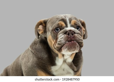 Small funny dog American bulldog posing isolated over gray background.