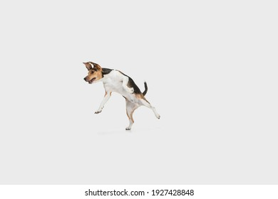 Small funny dog jumping isolated over white background. Copyspace for ad.