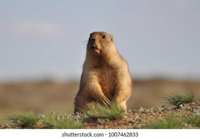 Small funny groundhog.