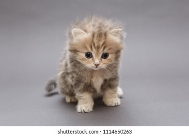 Small, funny kitten of British marble breed, on grey background