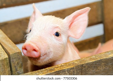 Small and funny pink piglet in pen