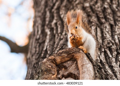 Small and funny squirrel of an orange color sits on a tree branch and eats a nut. Wildlife scene.