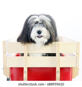 A small furry black and white dog in a red wagon isolated in a white background with text area.
