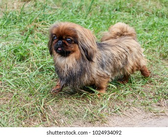 a small, furry dog of Pekingese breed, red color, runs along the green grass.  Warm, summer day