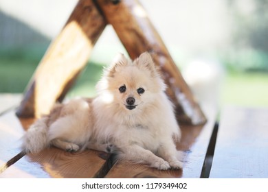 A small furry dog of Spitz breed sits on a wooden lacquered bench