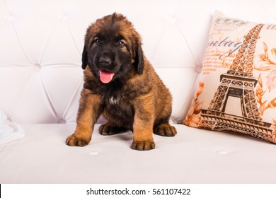 small furry leonberger puppies on a white sofa