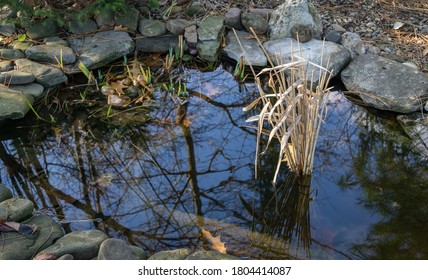 Small garden pond with bunch of reeds. Dry common reed (Phragmites australis) in pond keeps aquatic life from suffocating from gases under the ice. Fish and frogs winter in such reservoir very well.