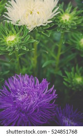 Small garden violet and white Astra flowers. Group of Alpine asters. Aster Alpinus