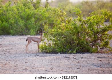 Small gazelle on Sir Bani Yas island, UAE