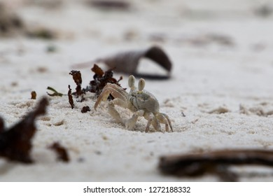 A small Ghost Crab standing at its burrow on the beach in Mafia Island, Tanzania.