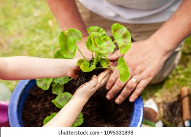 Small girl and Grandad's hands planting a geranium for summer planting, Uk