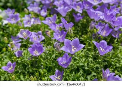 Small glade with light blue flowers of platycodon grandiflorus
