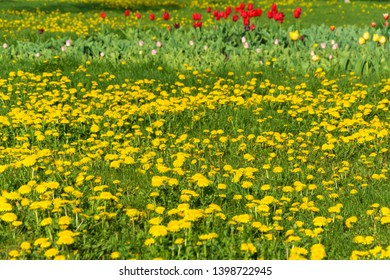 A small glade with yellow dandelions, red, pink and yellow gladioli on a spring day.