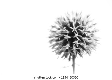 small globe thistle on white background in black and white