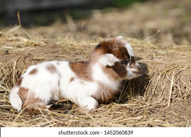 small  goat kid lying on straw in front of shed