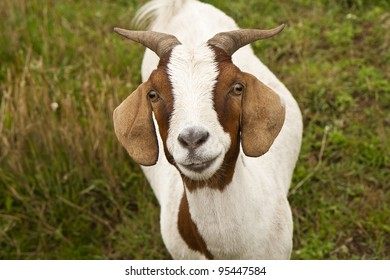 Small goat looking direct into the camera