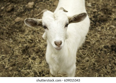 Small goat on animal farm, wild nature