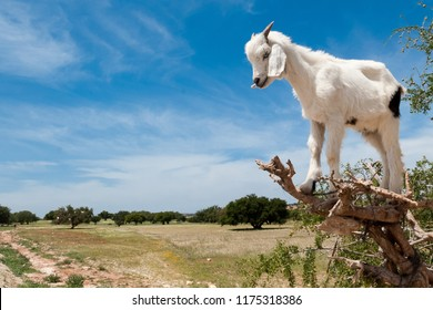 A small goat is perched on an argan tree in the region of Essaouira in Morocco
