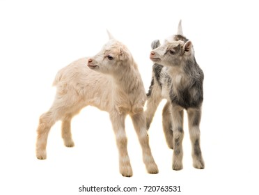 small goats isolated on white background