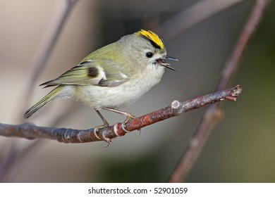 A small Gold crest is singing