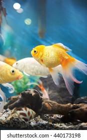 small gold fish in dark blue aquarium