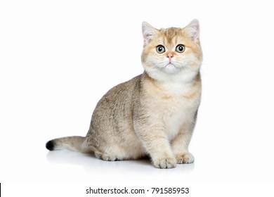 Small golden british kitten on white background