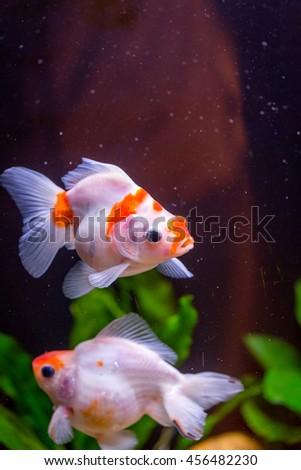 Small Golden Fishes Freshwater Aquarium Beautiful Stock Photo Edit
