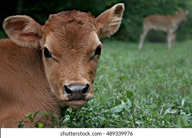 Small Golden Jersey Bull Calf Bedded Down In Open, Green, Grassy Pasture Field On A Farm In The Mountains Of North East Tennessee