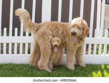 A small Goldendoodle Puppy (Woody) sits upright underneath a standing larger Goldendoodle Puppy (Toby) in a backyard