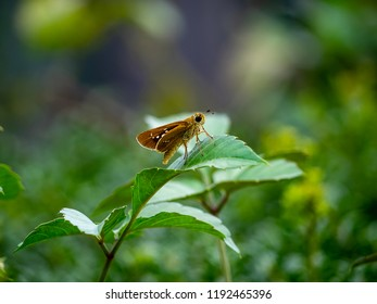 A small grass skipper butterfly rests momentarily on some leaves while feeding on flowers in a small park in central Kanagawa, Japan